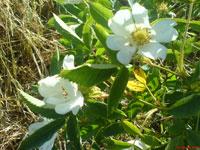 Vit stenros, Rosa canina ssp. canina