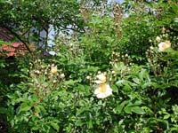 Rosa helenae 'Hybrida'