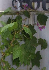 Rosenhallon, Rubus odoratus