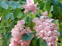 Rosenrobinia, Robinia hispida