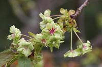 Japanskt körsbärsträd - gröna blommor