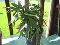 Känguruäpple, Solanum laciniatum