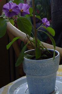 Potatisblomma, Solanum rantonettii