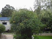 Sorbaria sorbifolia, rönnspirea