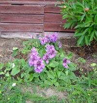 Praktbetonica, Stachys grandiflora