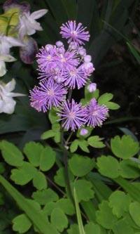 Aklejruta, Thalictrum aquilegiifolium