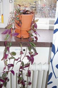Vandrande jude, Tradescandia albiflora