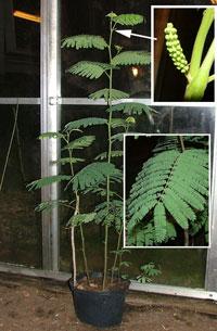 Acacia dealbata, silverakasia