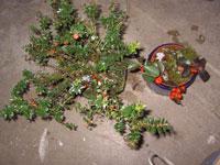 Gaultheria mucronata, bärljung och Gaultheria procumbens, vaktelbär