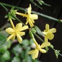 Vinterjasmin, Jasminum nudicaule