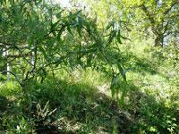 Trollpil, Salix babylonica 'Tortuosa'