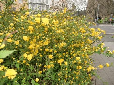 buske med gula blommor