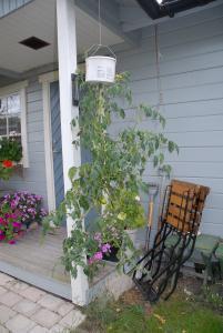 odla tomat hängande