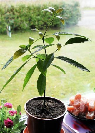 odla ett avokadoträd