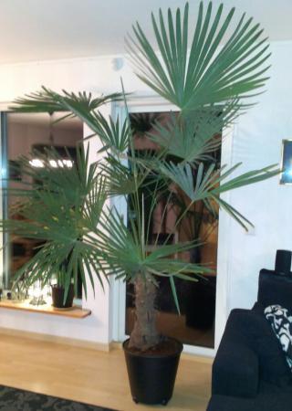 stora palmer inomhus